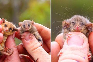 rare Pygmy Possums