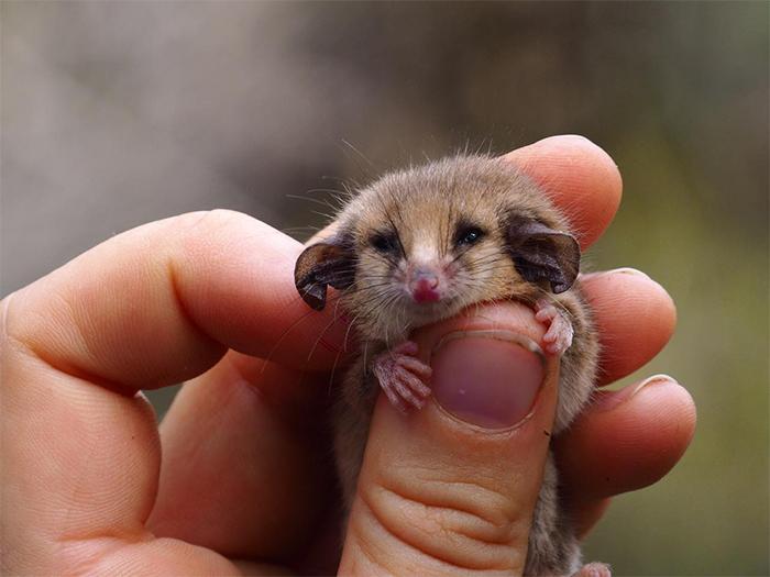 rare pygmy possums rediscovered