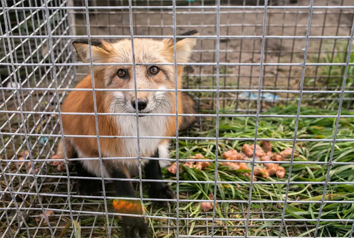 red fox rescued from fur farm