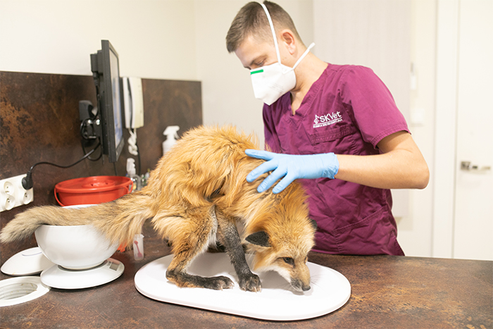 red fox vet checkup