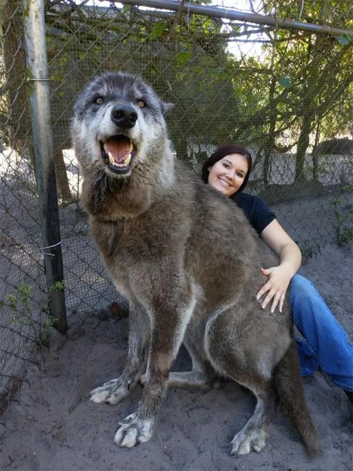 rescued giant wolfdog