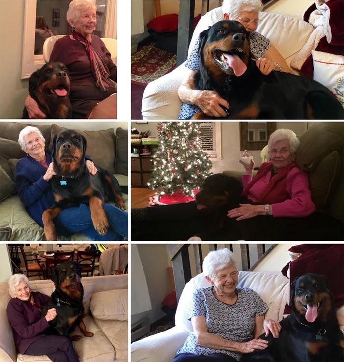 rottweiler lapdog for granny