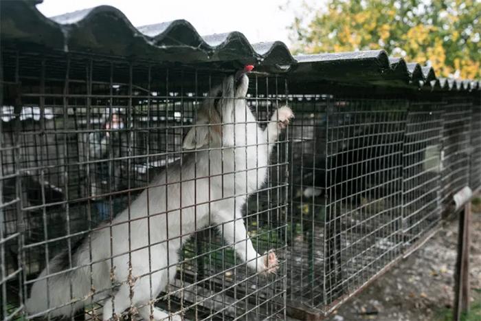 starving fox in cage fur farm