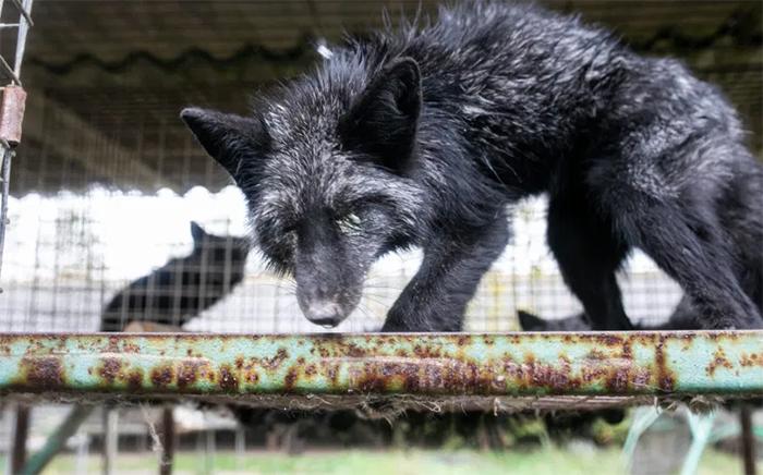 starving fox neglected fur farm
