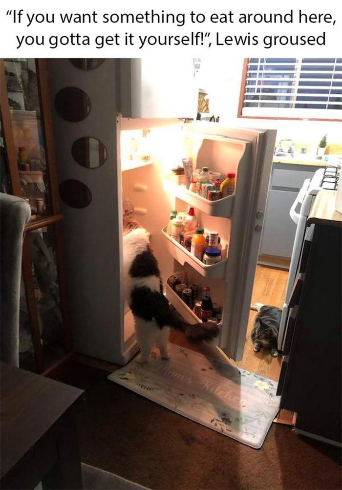 cat memes stealing from fridge
