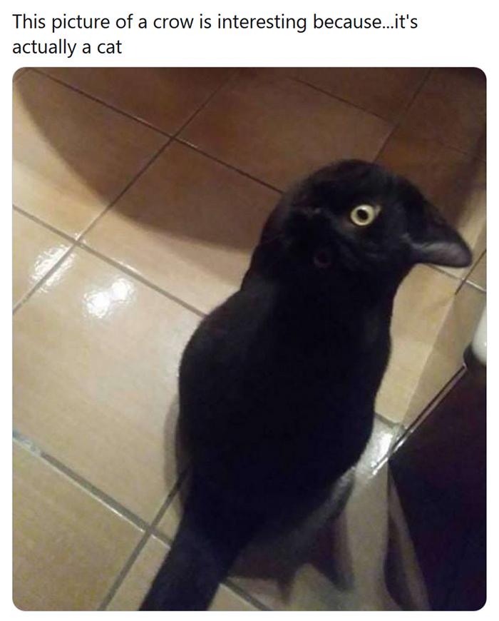 crow kitty