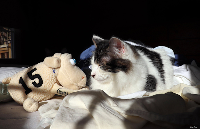 cat sleeping beside sheep plush toy