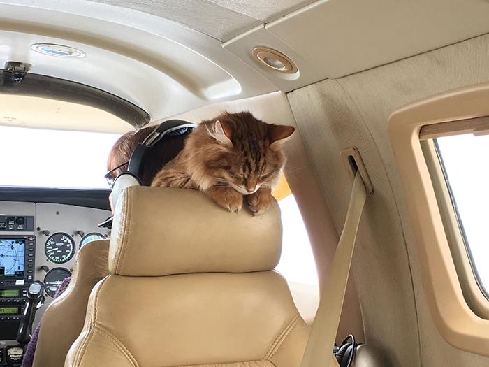 cat sleeping on plane seat headrest