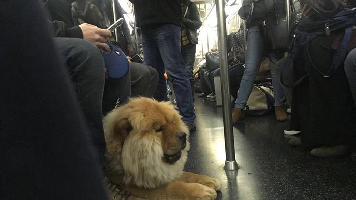 chow chow groomed like lion on subway