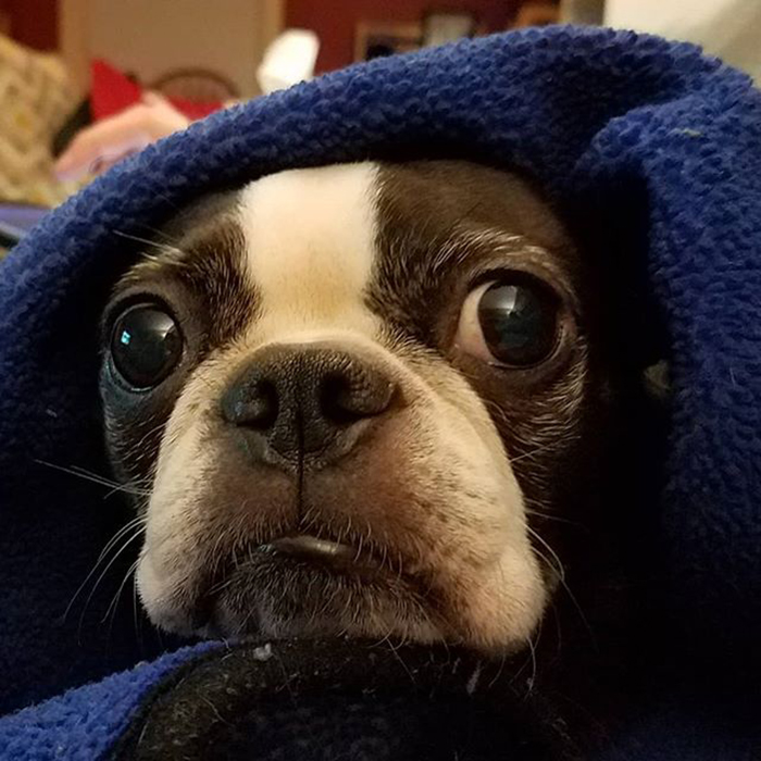 dog wrapped around blue blanket