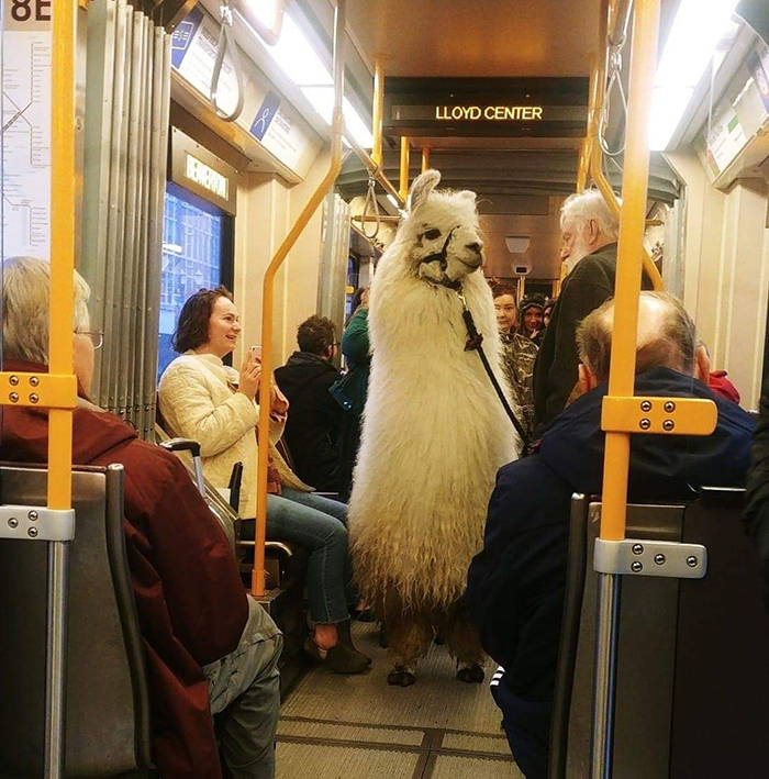 pets traveling alpaca on train