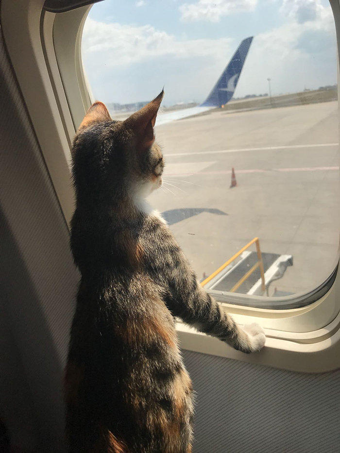 pets traveling cat looking out of plane window