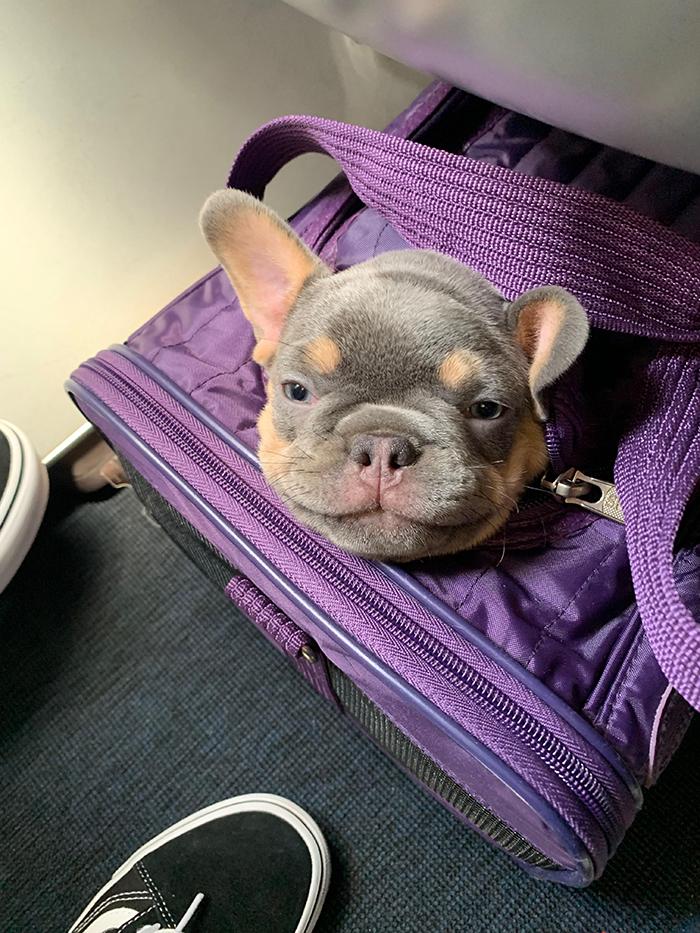pets traveling dog inside carrier bag