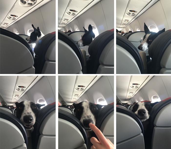pets traveling dog on plane
