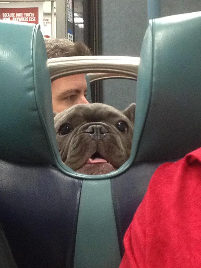 pets traveling dog peeking through train seat