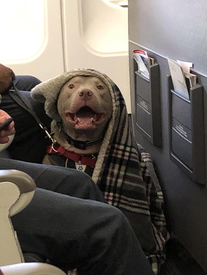 pets traveling happy dog on plane