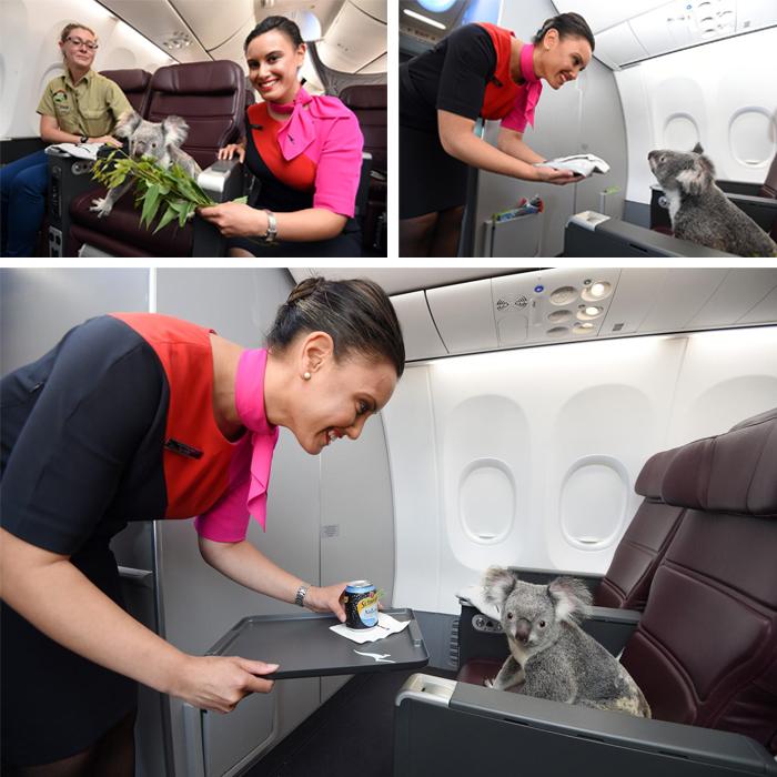 pets traveling koala on plane