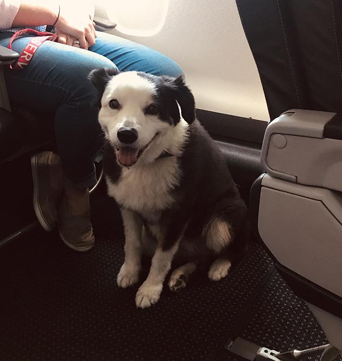 pets traveling service dog on plane