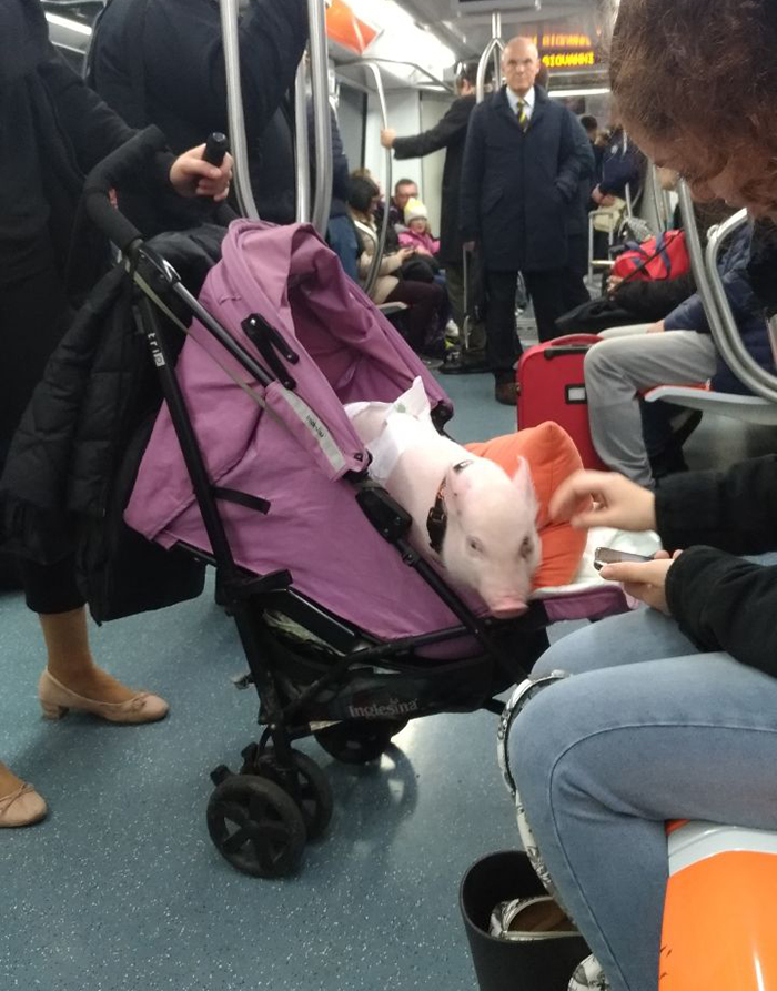 pig in a stroller aboard the subway