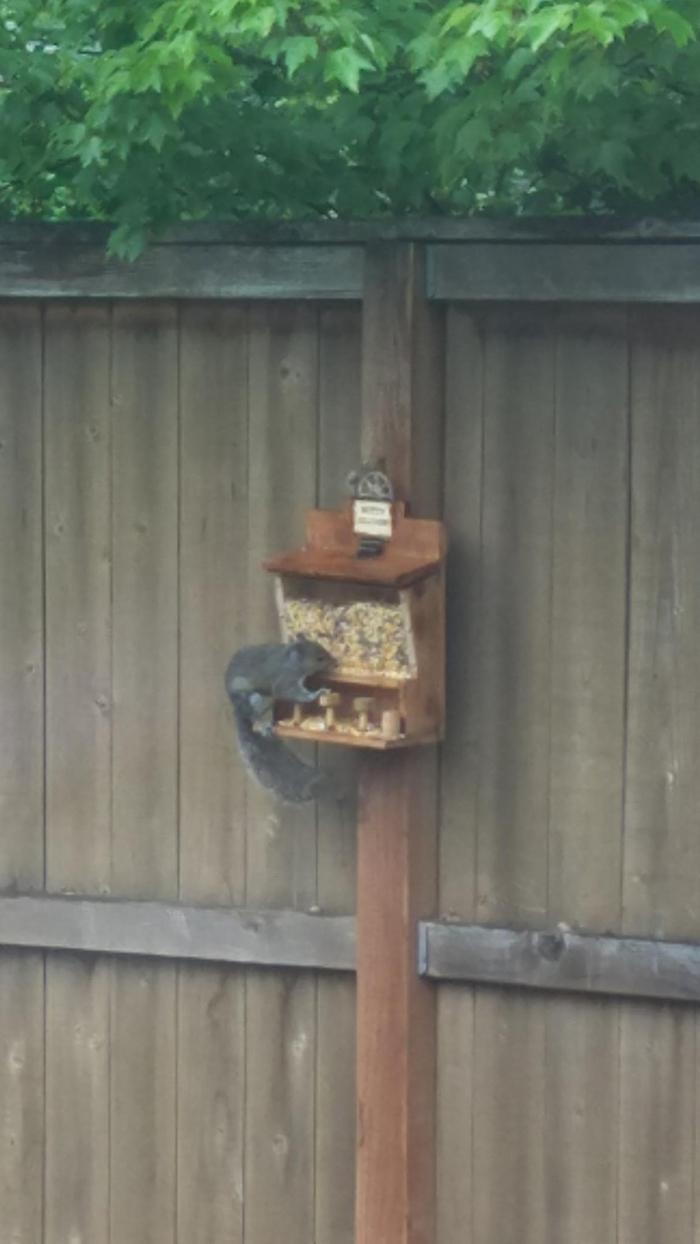 acwworx wooden squirrel saloon