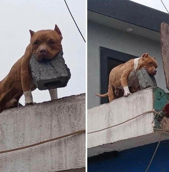 funny animals dog carrying cement