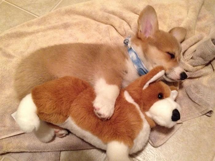 corgi sleeping with plushie