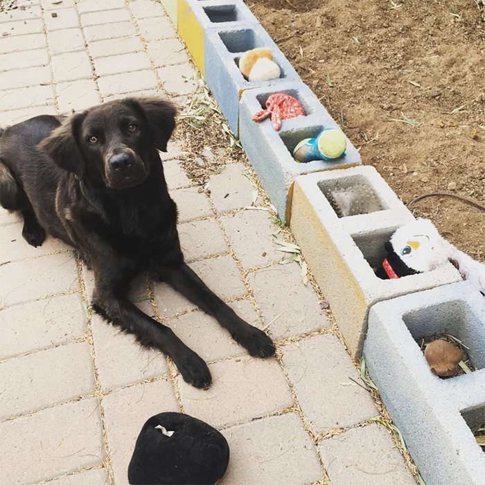 dog piles toys in cement blocks