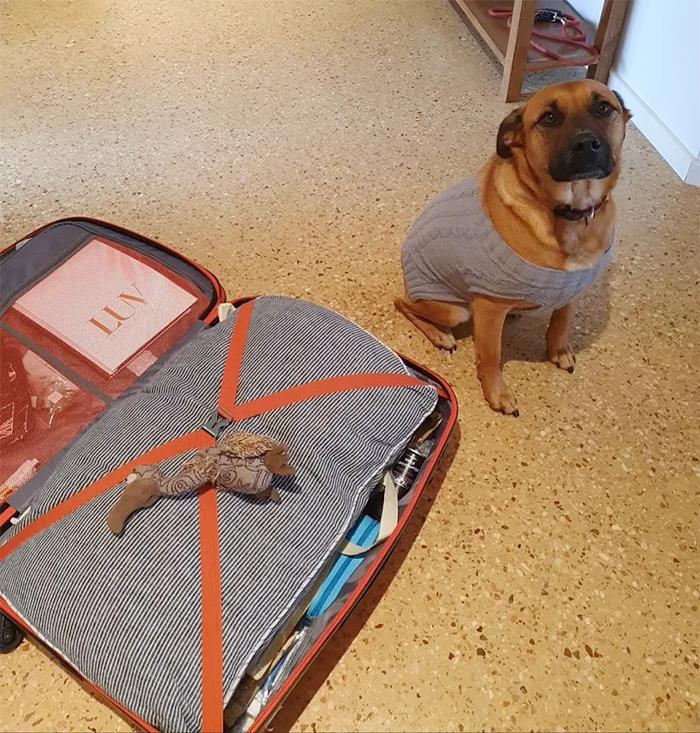 dog puts plushy on suitcase