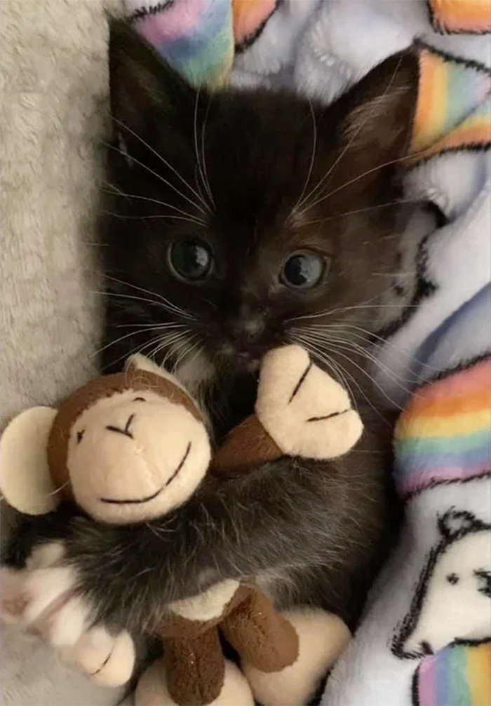 pets with their favorite toys kitten