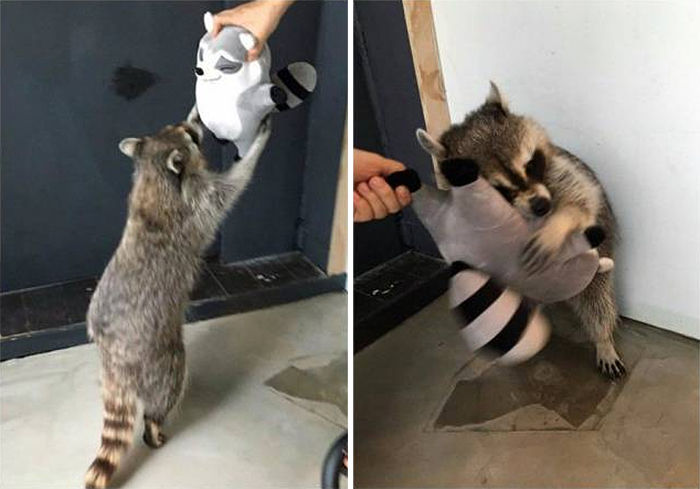 pets with their favorite toys raccoon