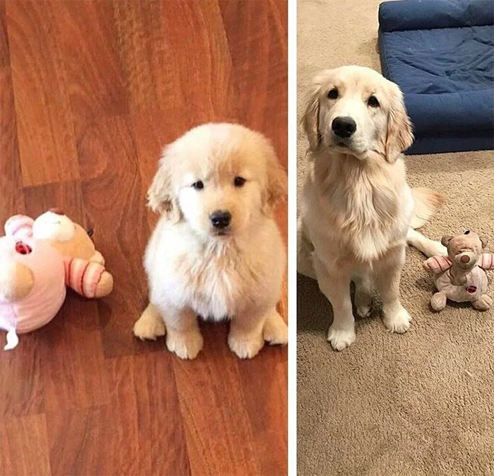 puppy growing up with plushie