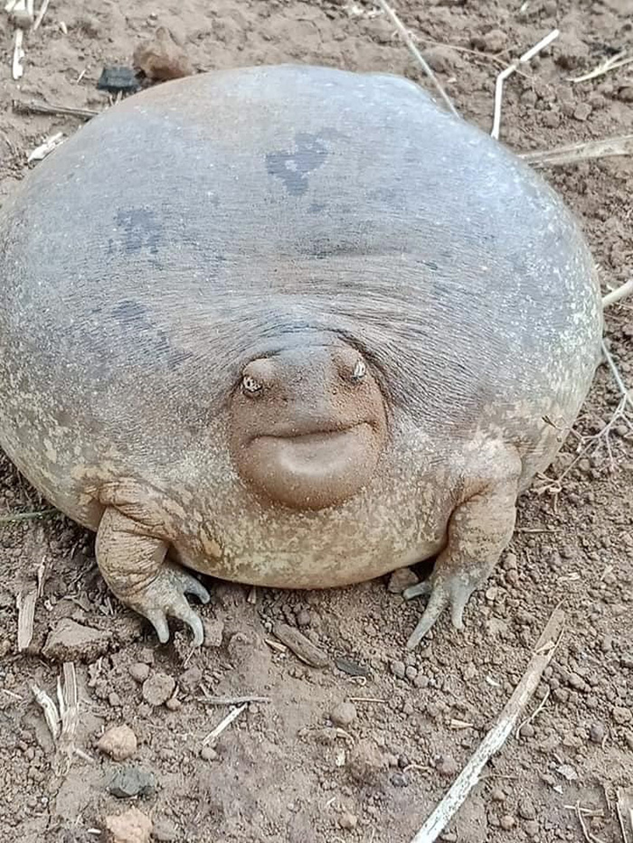 blunt-headed burrowing frog in cambodia