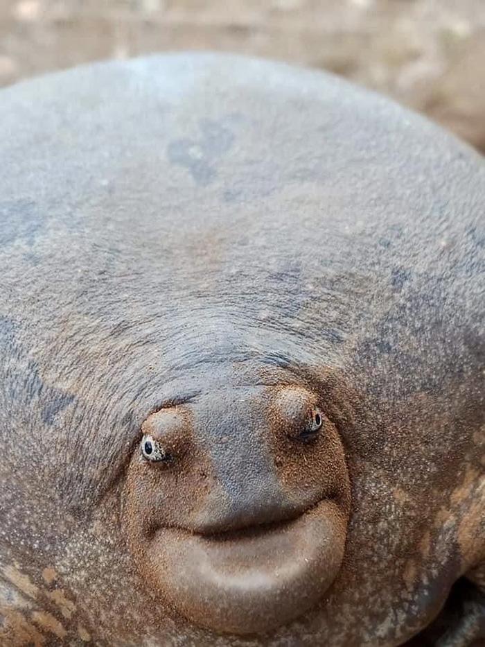 blunt-headed burrowing frog