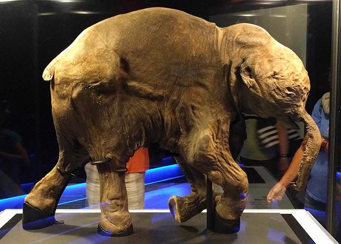 lyuba mummified baby mammoth