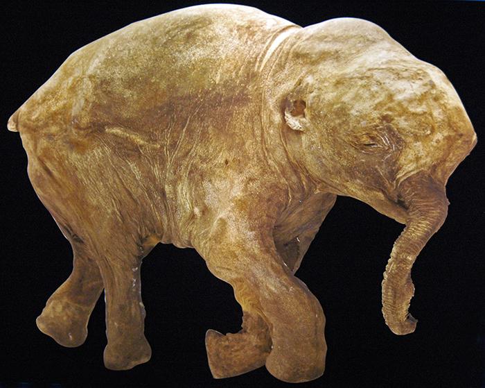 lyuba preserved mammoth calf