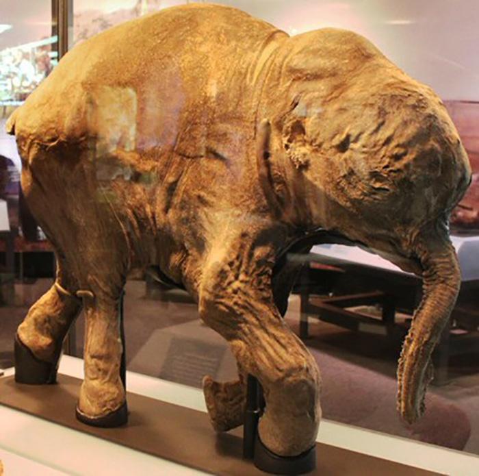 lyuba preserved woolly mammoth