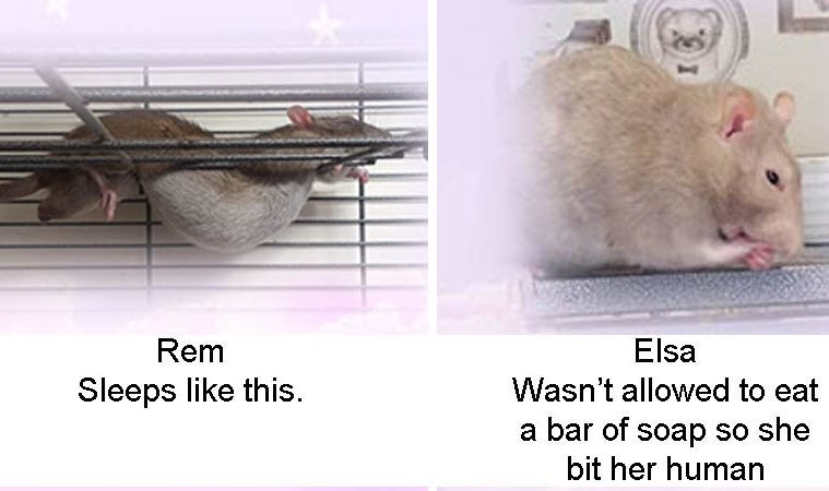 best and worst rat of the week