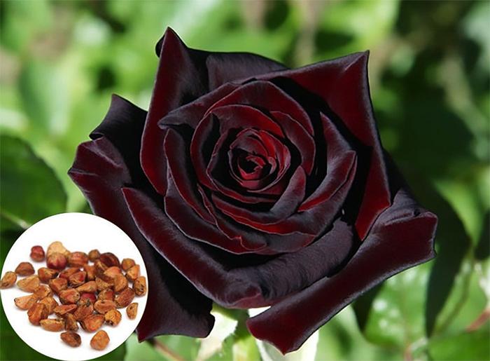 black baccara rose seeds