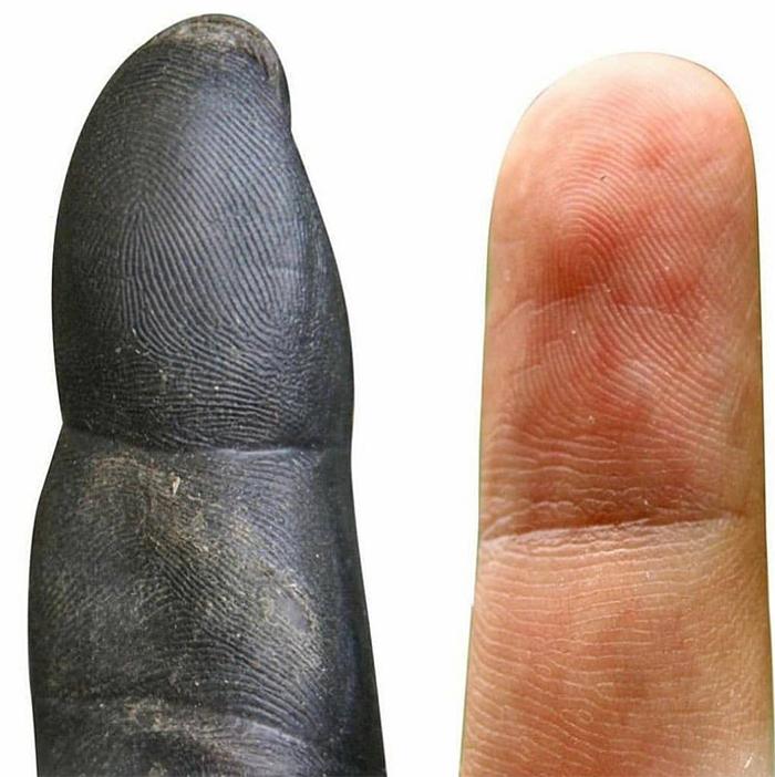 comparison images chimpanzee vs human fingertips
