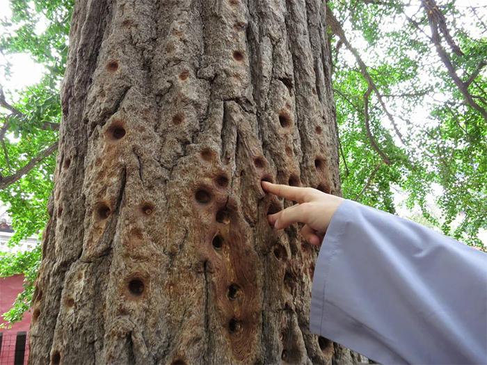 shaolin monks finger hole marks tree