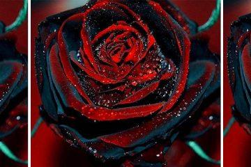 true blood roses