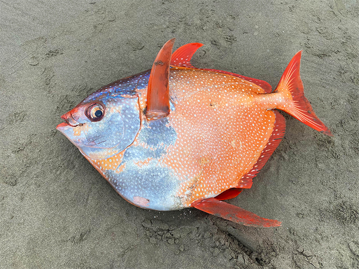100-pound tropical fish found in oregon