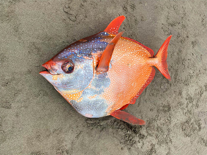 100-pound tropical fish opah
