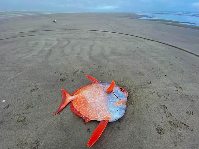 100-pound tropical fish sunset beach oregon