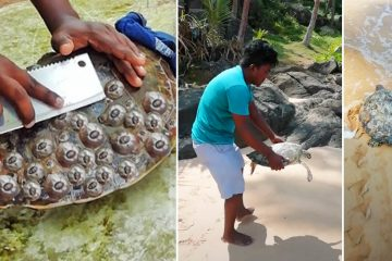 Removing Barnacles From turtles