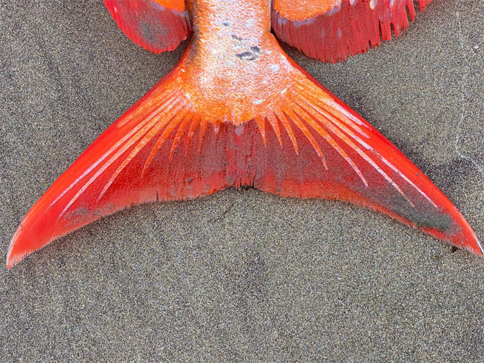 opah moonfish caudal fin