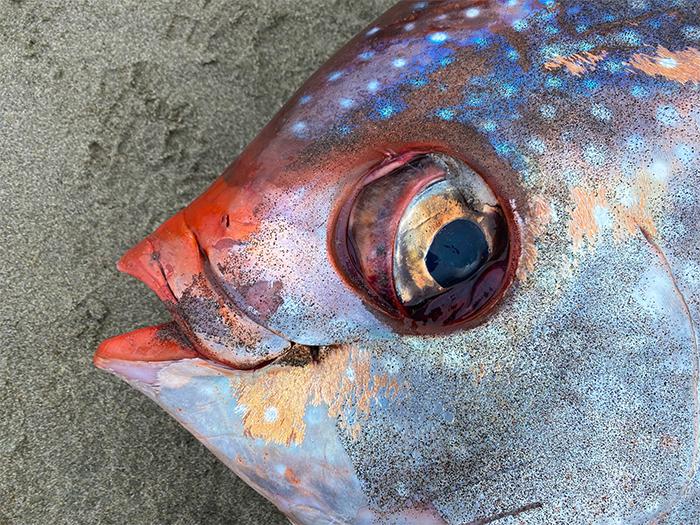 opah moonfish large eyes