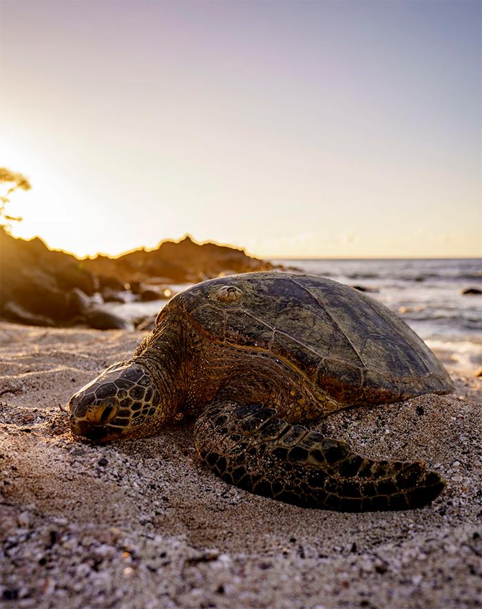 sea turtles barnacle infestation