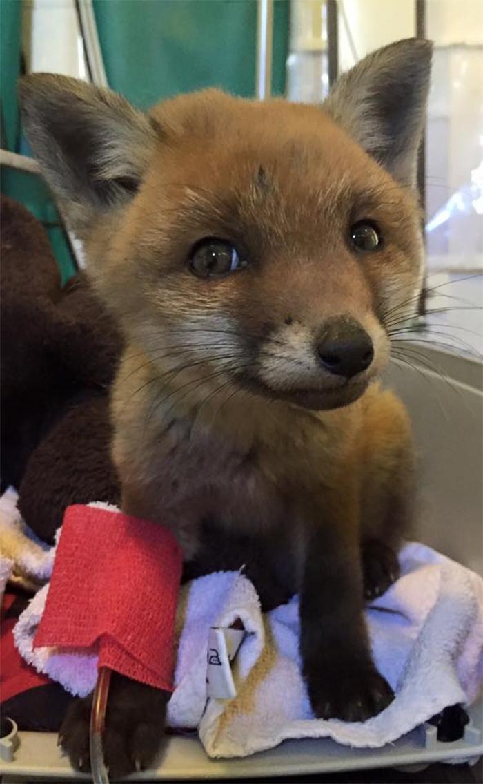 cute pets at the vet baby fox