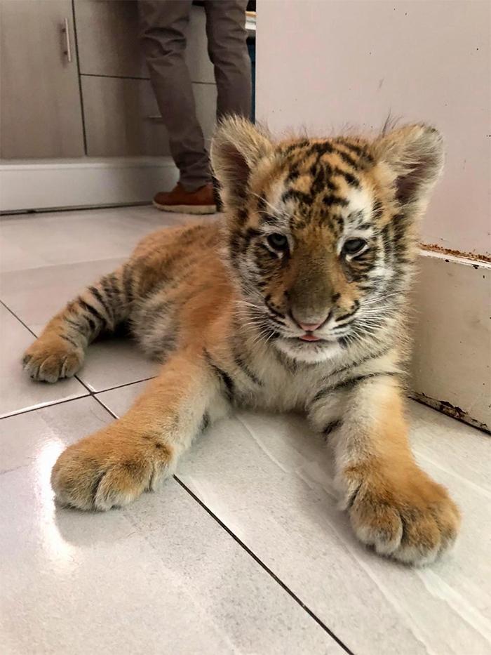 cute pets at the vet baby tiger